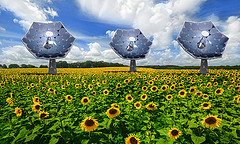 sunflower_field_240
